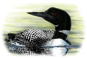 Common Loon II by FMRachel