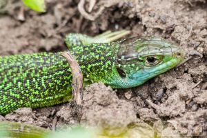 European green lizard (Lacerta viridis/bilineata) by MariaDeinert