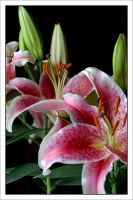 Pink Lily by Crystalsm