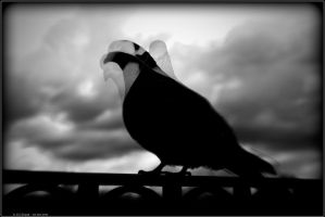 PLWA - Pigeon HDR2 by andyshade