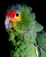 Red-Lored Amazon 3 by Xercesa