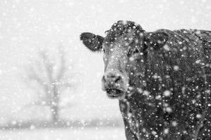 Cow in the snow by SevenHeptagons