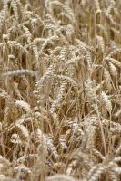 Wheat by mordoc-stock