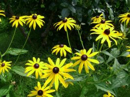 yellow Black eyed susans by snoogaloo
