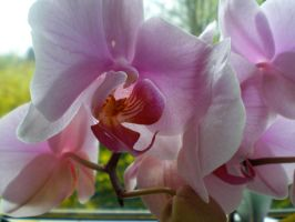 Pink Orchid by Winnoy