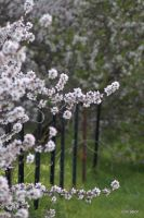 Blossoms along the fence by Bluebuterfly72