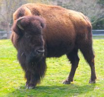 Mighty Bison by WilliamJCovello