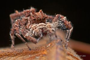 Portia Jumping Spider by melvynyeo
