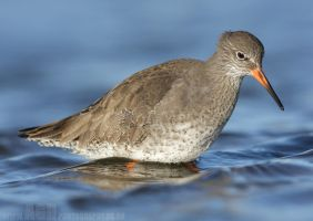 Redshank by Albi748