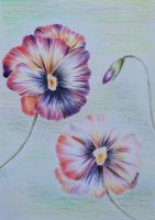 Pansy flowers by Fenfolio