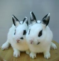 twin white rabbits 2 by shnarfle-stock