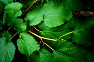 Mulberry Leaves by Bluegalleon