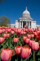Capitol Tulips 03 by StudioFovea