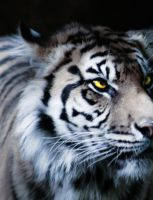 Tiger Eyes by Mz-Kitts