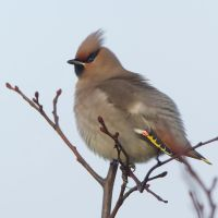 A Christmas Cracker - Bohemian Waxwing by Jamie-MacArthur