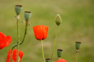 Oriental Poppy Bloom by CageyResources