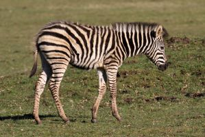 Zebra 02 by LydiardWildlife