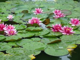 Lotus on the Water by VixenRapture
