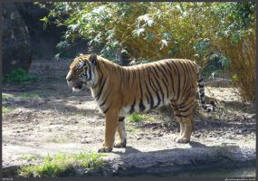 Tiger Stock 001 by phantompanther-stock