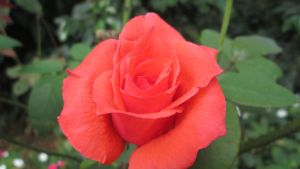 Red Rose by Gijosam