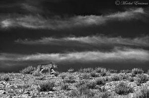 Stalker on the dune... by MorkelErasmus