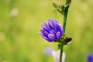 Chicory by Erzahlung