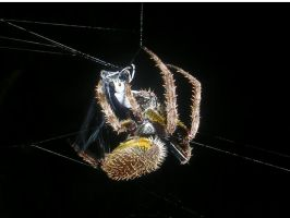 large female orbweaver by insectmaster