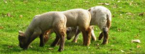 persistence of lamb by deinktvis
