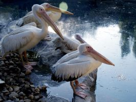 Pelican Group 2116733 by StockProject1