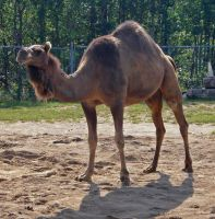 Dromedary by midnightstouchSTOCK