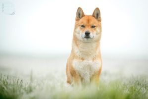 Foggy Doge by BlackPepperPhotos