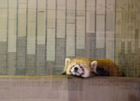 Bored Lesser Panda by SuperPope