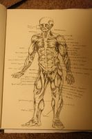 Muscle diagram front by AdamHallart