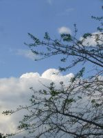 Ginko leaves against sky II by dull-stock