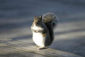 Squirrel Standing Up by Della-Stock