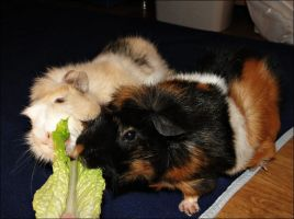 Hungry guinea pigs by kooff