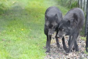 Black Phase Timber Wolf Stock 1 by HOTNStock
