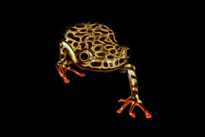 R is for Riggenbach's Reed Frog by TastingCockroaches
