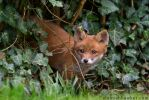 Fox Cub 23 by Alannah-Hawker