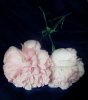 2 Carnations Modified by dream-n-pink