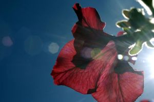 big red flare flower by in-my-viewfinder