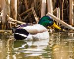 Laughing Duck by Erael71