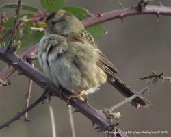 Young Fluffy Sparrow by vanwaglajam