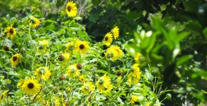 Yellow Daisies by my-dog-corky