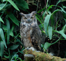 Great Horned Owl by ToxicSerpent