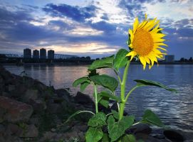 Danube sunflower by spns