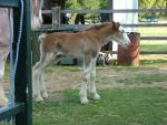 Clydesdale Foal 24 by How-You-Remind-Me