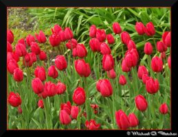 Red Tulips by mgfletcher