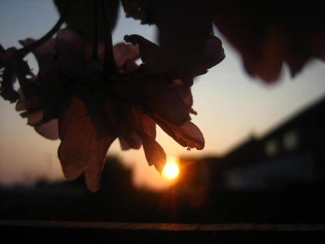 Evening Cherry Blossom. by victoria33