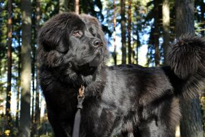 Newfoundland Dog Gifts For Sale Near Me